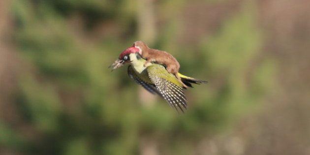 La historia tras la foto del pájaro carpintero transportando un bebé
