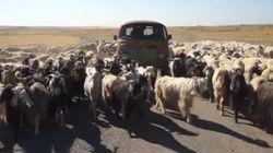 Novecientas ovejas
