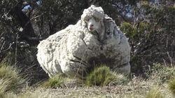 Esta oveja ha sido esquilada