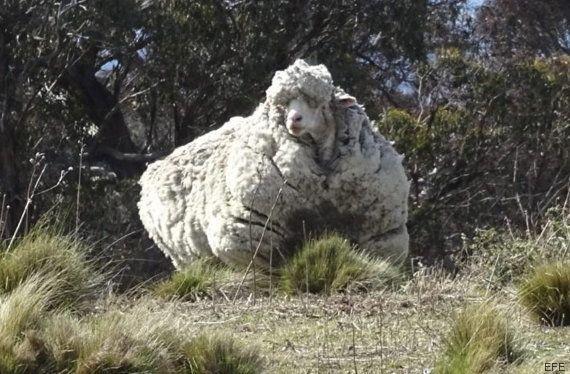 Récord mundial: obtienen 40,5 kilos de lana al esquilar a esta