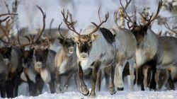 El cambio climático mata a miles de renos en Siberia y amenaza a sus