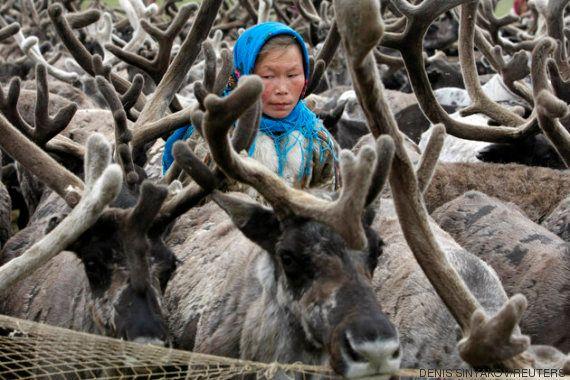 80.000 renos han muerto de hambre en Siberia por el cambio