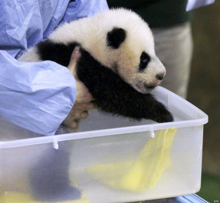 ¡Hola! Así es el nuevo oso panda de Madrid