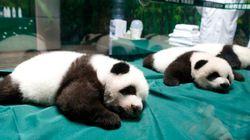 ¡Mira cómo han crecido los trillizos panda!