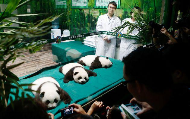 Los osos panda del zoo chino de Guangzhou cumplen 100 días
