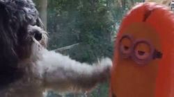 Este cachorro pierde una épica batalla contra un Minion inflable