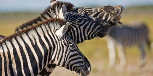 ¿Por qué las cebras tienen rayas? Así han influido los insectos en su