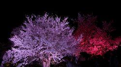 El impresionante espectáculo de la floración de los cerezos