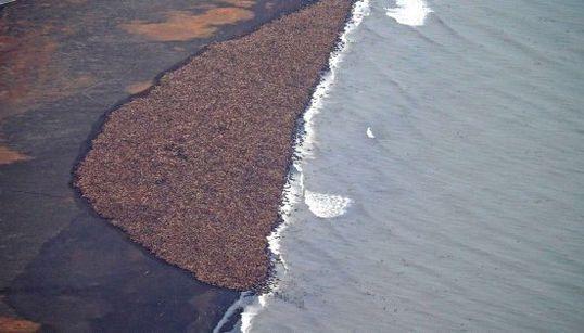 35.000 morsas varadas en Alaska por falta de hielo