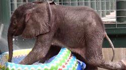 ¿Qué hace un elefante cuando pasa calor? Lo mismo que tú: bañarse en una piscina