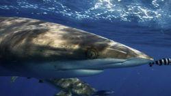 Un tiburón muerde a un bañista en una playa de Arenales
