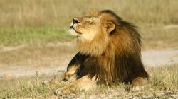 Zimbabue pone límites a la caza mayor tras la muerte del león