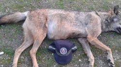 Hallan en Madrid dos lobos muertos en cuatro