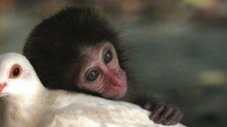 El mono y la paloma y otras amistades increíbles entre