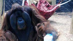 El orangután más famoso de