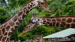 Conoce a Omo, la jirafa blanca descubierta en