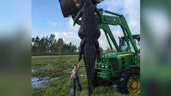 Capturan en Florida al mayor caimán de casi cinco