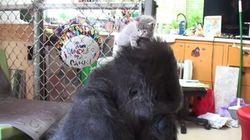 ¿Qué hace un gorila ante una caja de gatitos?