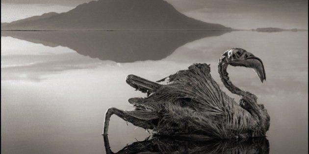El lago que convierte animales en 'estatuas': las fotografías de Nick