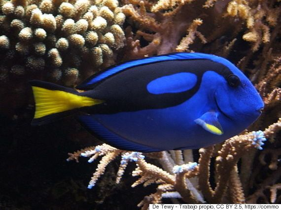 Buscar a Dory puede poner en riesgo al pez cirujano