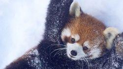 Estos pandas rojos en la nieve será de lo mejor que veas el finde