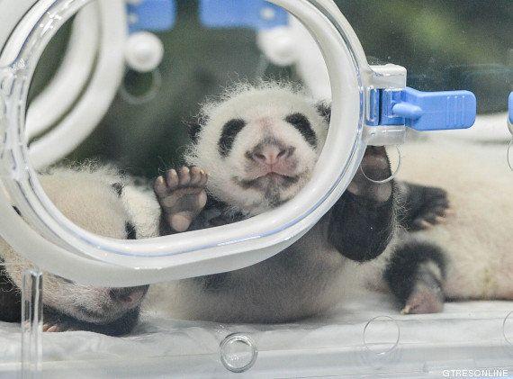 ¿Te acuerdas de los pandas trillizos? Así están ahora