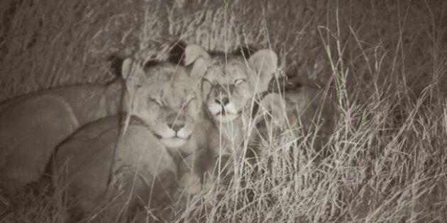 La manada del león Cecil prospera: siete cachorros, tres leonas y un fondo para su conservación