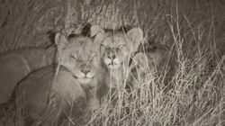 La manada del león Cecil prospera