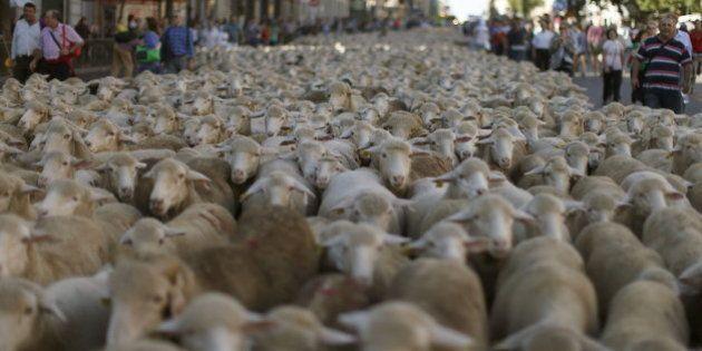 Cañada Real: 2.000 ovejas trashumantes cruzan Madrid en una tradición