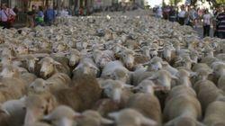Ovejas, ovejas, ovejas... en el centro de Madrid