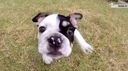 Bonsai, el maravilloso perro que nació con media espina