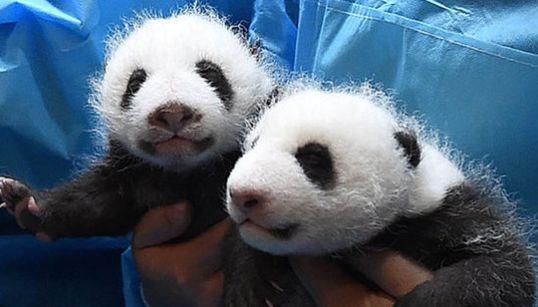 Esta guardería de bebés panda en China es lo más tierno que vas a ver en todo el