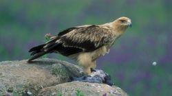 Condenado por envenenar a seis águilas