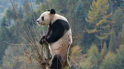 Pandas volviendo a casa cuatro años después de un terremoto (FOTOS,