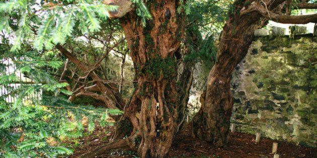 El árbol más antiguo de Reino Unido está