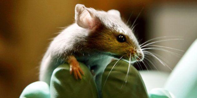 Logran alargar la vida de ratones gracias a la reprogramación