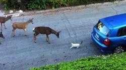 Cuando el mejor amigo de los ciervos... es un gato
