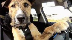 Los increíbles perros conductores de Nueva