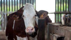 ¿Alguna has visto a una vaca