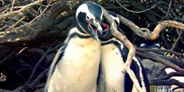 La brutal pelea entre dos pingüinos que se ha vuelto