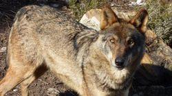 Castilla y León permitirá cazar 143 lobos anuales hasta