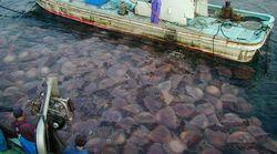 ¡Por fin buenas noticias! Las medusas no están aumentando (aún) a escala