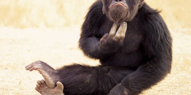 Los chimpancés poseen sentido de la justicia, según un