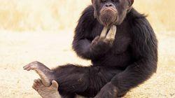 Los chimpancés poseen sentido de la