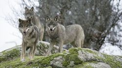 El lobo ibérico: ¿problema o
