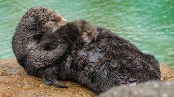 El nacimiento de una nutria salvaje en