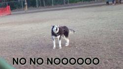 Este husky protesta porque...