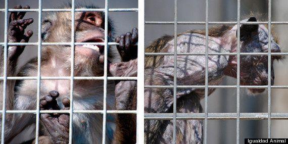 Igualdad Animal denuncia una granja de macacos con