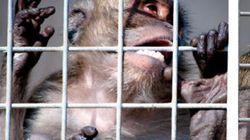 Denuncian una granja de macacos en Tarragona en