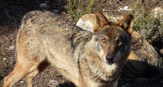 Manifestación por el lobo
